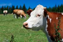 Cena mléka padá dolů