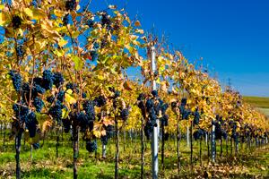Víno se pěstuje skoro vcelé republice