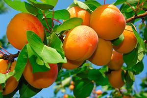 Kolik ovoce vypěstujeme asníme