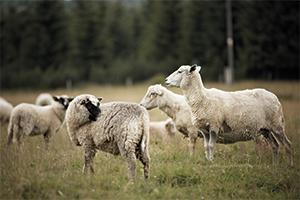 Chov ovcí zatím sucho nezasáhlo