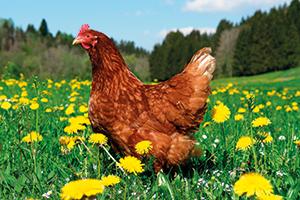 Drůbež doma chováme pro vejce,  nikoli na maso