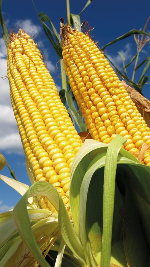 FAO: K plýtvání potravinami dochází již na polích a v sadech