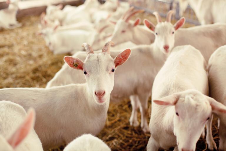 Kozí mléko v Nizozemsku na vzestupu