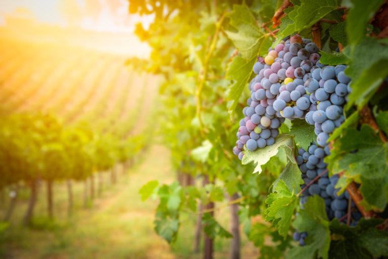 Rozloha vinic i spotřeba vína roste