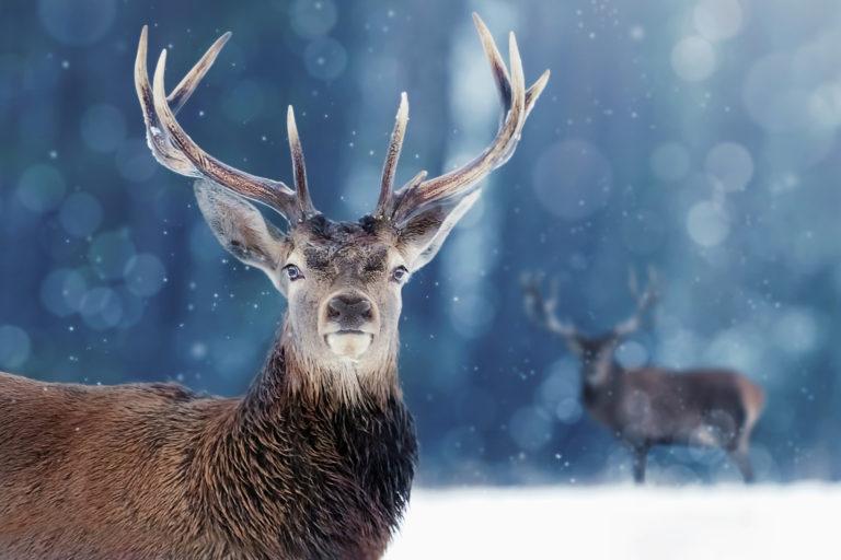 Nejvíce odstřelených jelenů v historii